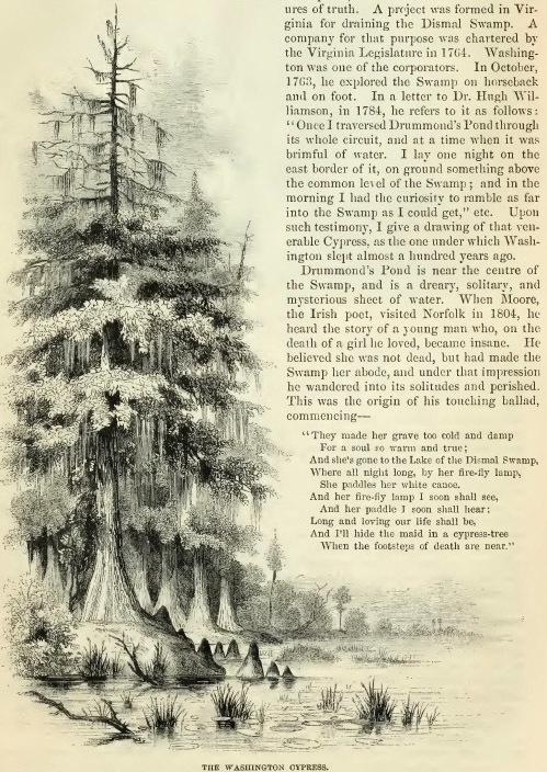 15--Washington Cypress.jpg