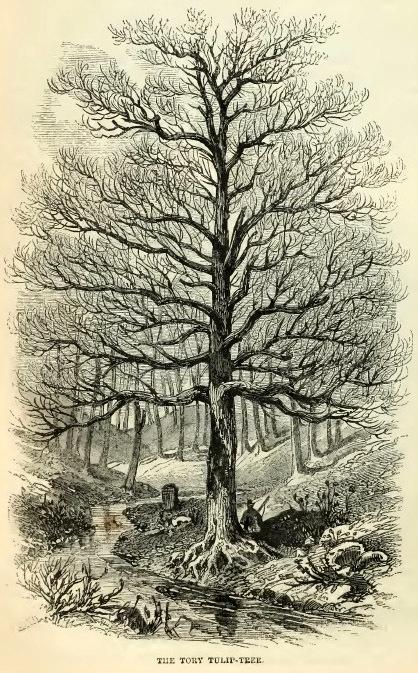8--Tory Tulip Tree.jpg