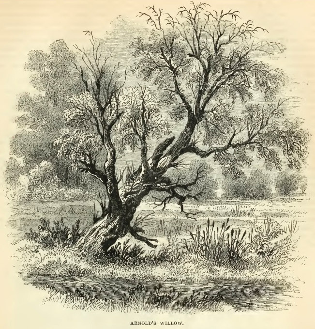 13--Arnold's Willow.jpg