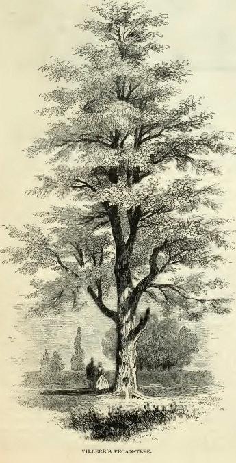 17--Villere's Pecan Tree.jpg