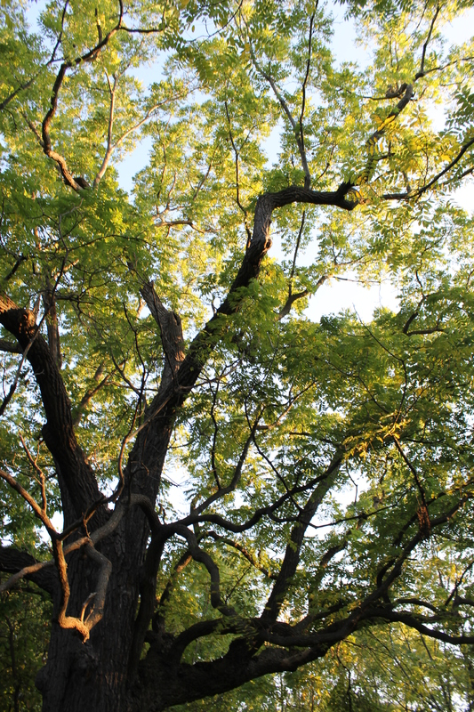 Arboretum Oak