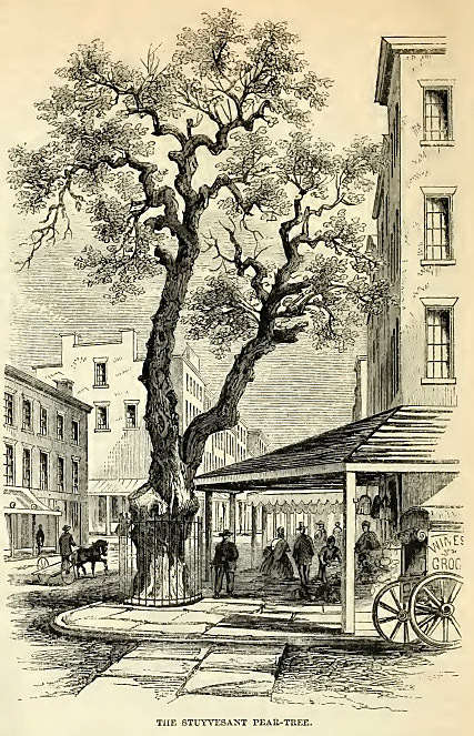 4--Stuyvesant Pear Tree.jpg