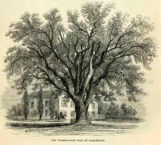 7--Washington Elm.jpg