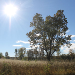 Oak-in-Tallgrass-Meadow--small.jpg
