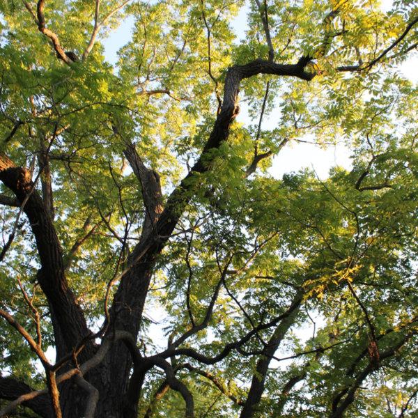 Arboretum-Oak--small.jpg
