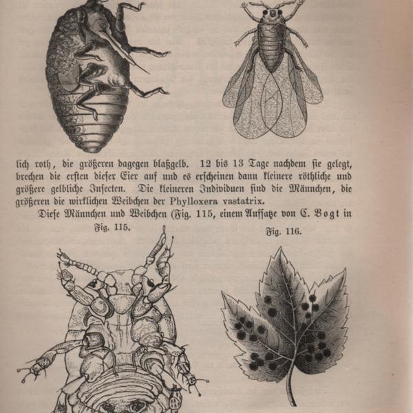 phylloxera.jpg