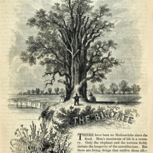 Big-Tree-small.jpg