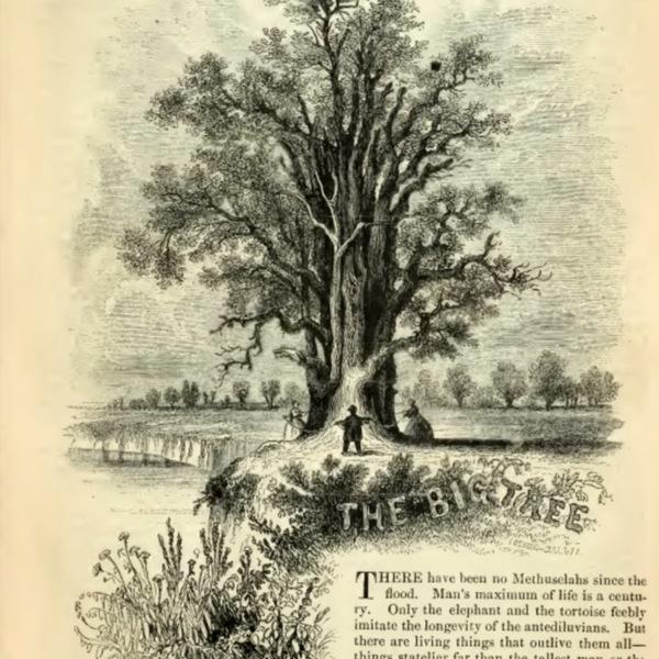 1--Big Tree.jpg