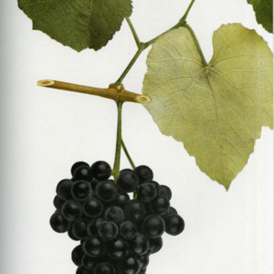 "New York State ""native"" grape illustrations"