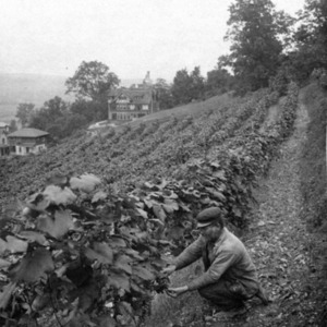 Fritz Michael working on his vineyard, Dansville; Sanitorium visible in the back.tif